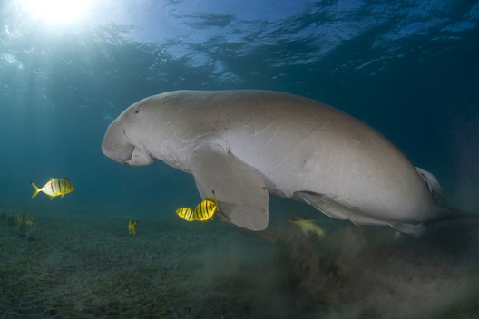 Dugong with fishes, Australian Marine Conservation Society